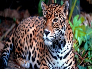 Salvar al jaguar